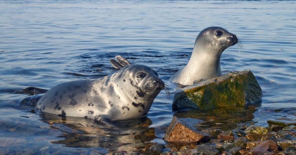 Harp seal, Pagophilus groenlandicus in the White Sea, Gulf Kandalakshskom.