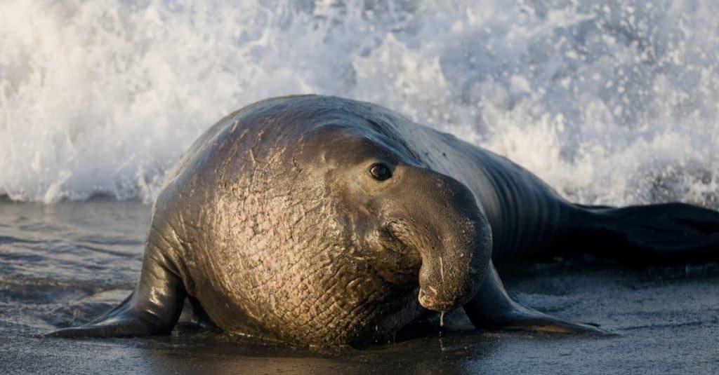 Heaviest Animals: Elephant Seal