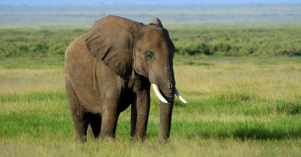 Heaviest Animals: Elephants