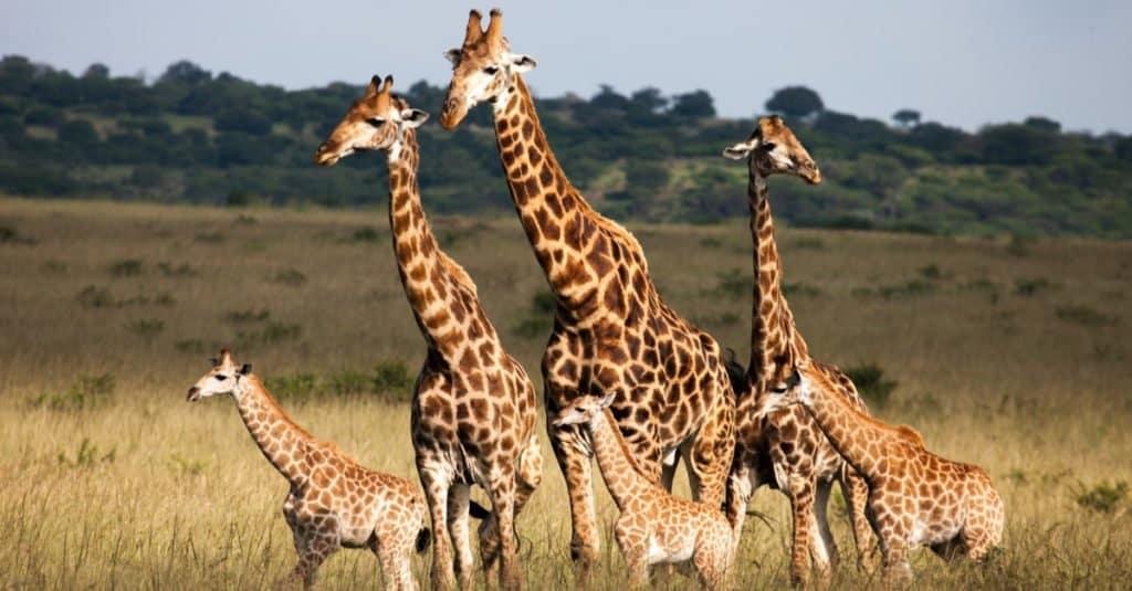 Heaviest Animals: Giraffe