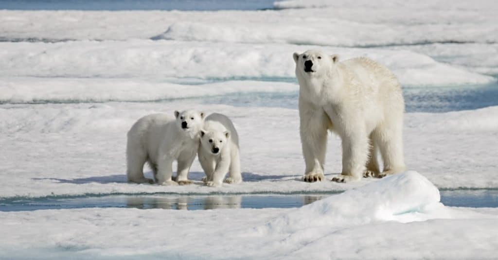 Heaviest Animals: Polar Bear