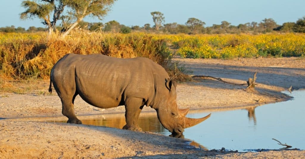 Heaviest Animals: Rhinoceros