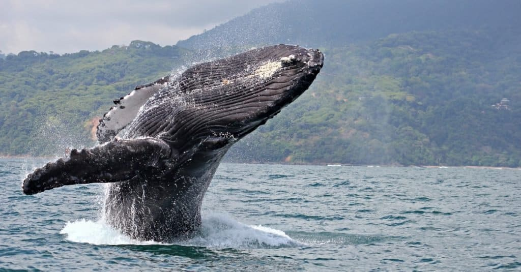 Heaviest Animals: Whales