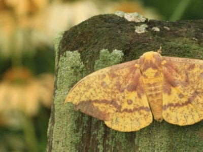A Imperial Moth