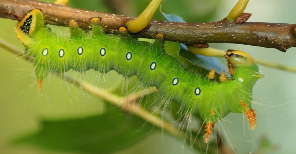 Imperial moth in caterpillar stage