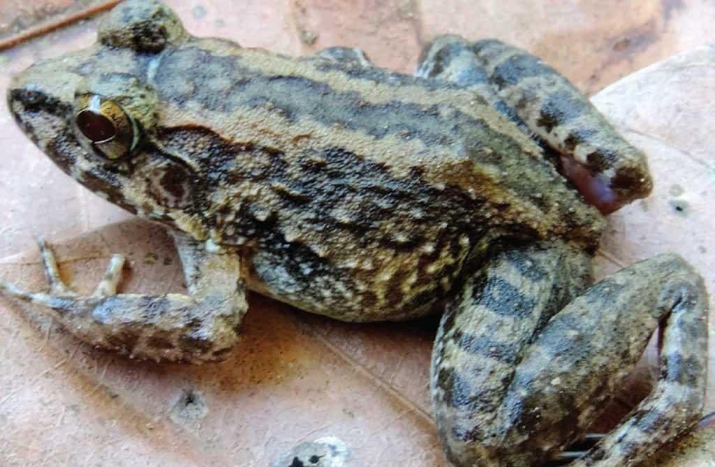 Incredible Rainforest Animals: Limnonectes larvaepartus