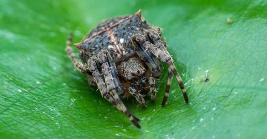 Incredible Rainforest Animals: Darwin's Bark Spider