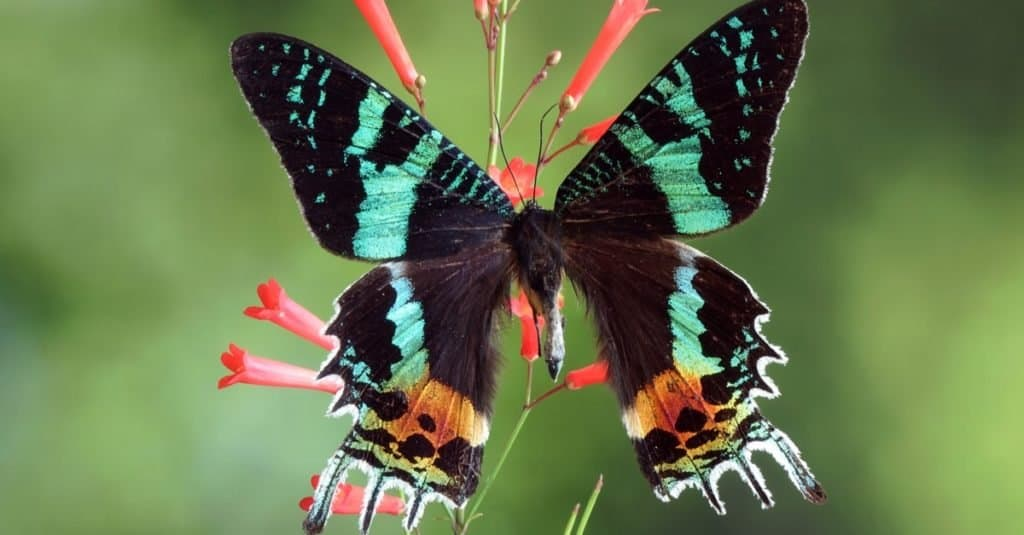 Incredible Rainforest Animals: Madagascan Sunset Moth