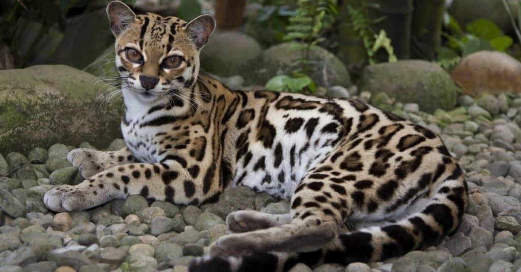 Incredible Rainforest Animals: Margay