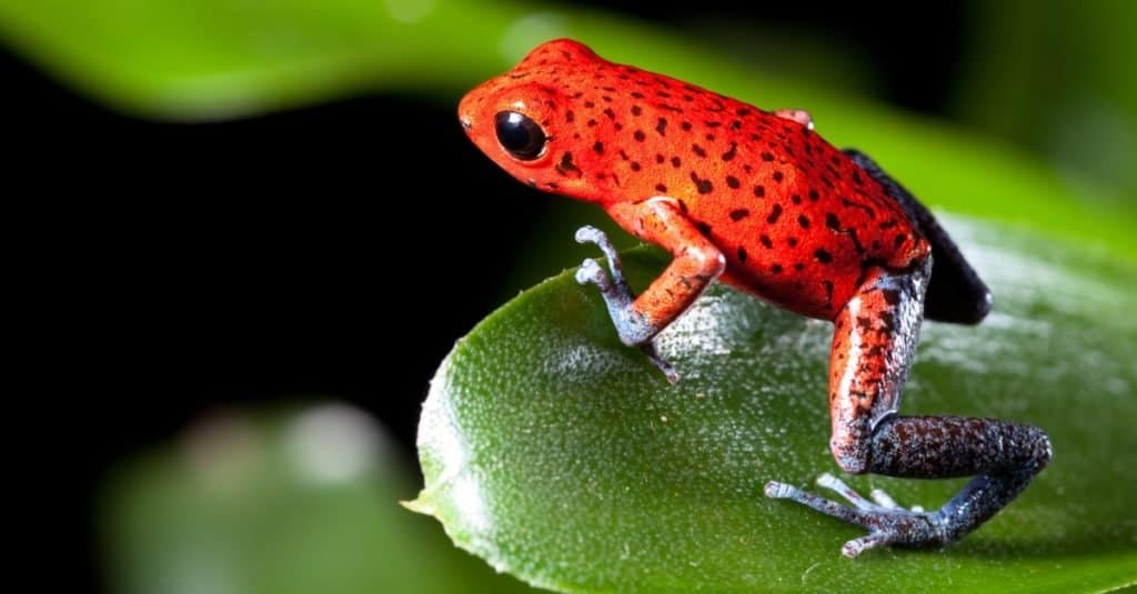 Incredible Rainforest Animals: Poison Dart Frogs