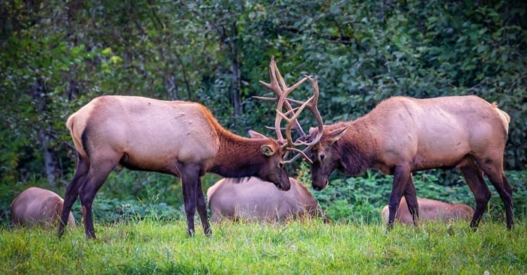 Incredible Rainforest Animals: Roosevelt Elk