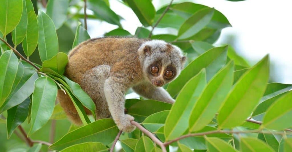 Incredible Rainforest Animals_ Slow Loris