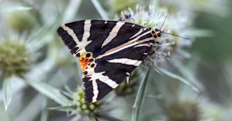 Jersey tiger moth on a flower