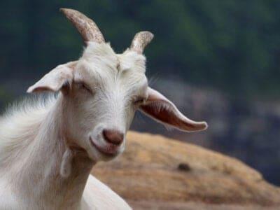 A Kiko Goat
