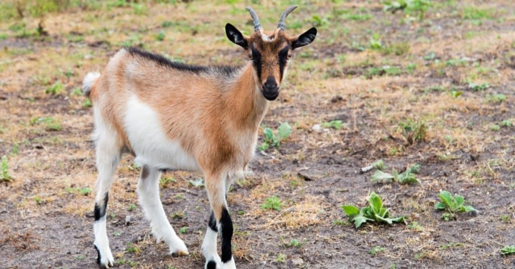 A Kinder goat standing in the pasture on the farm.