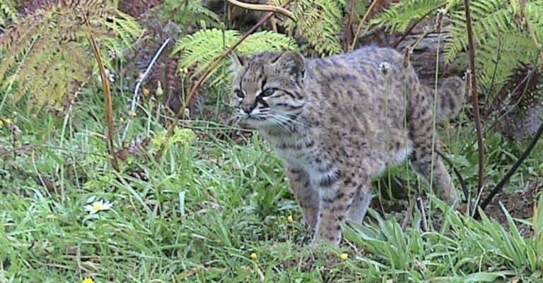 Guigna (Leopardus guigna) looking for prey in the jungle.