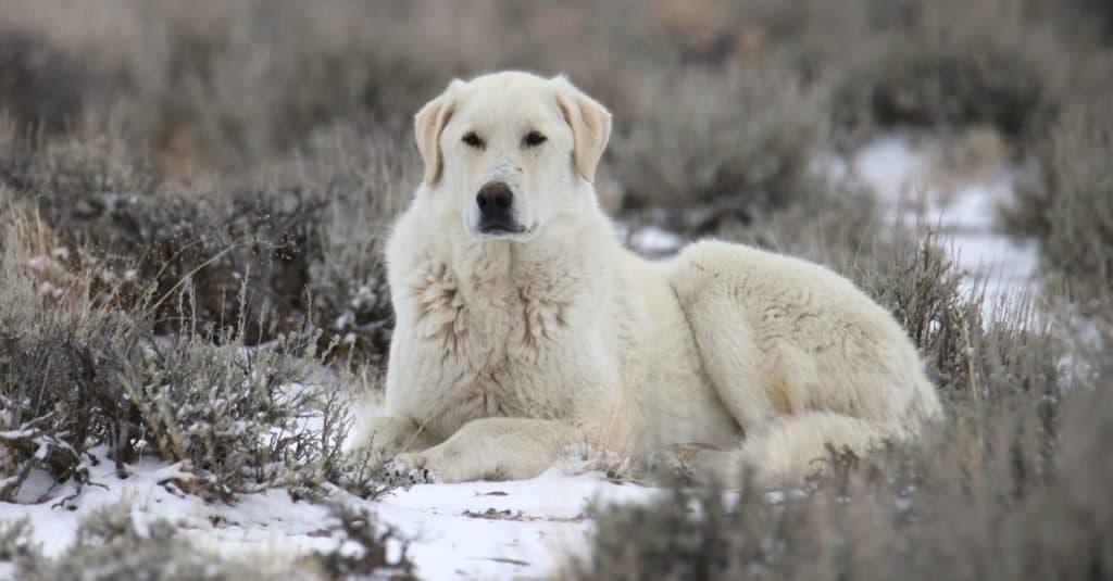Kuvasz resting in the snow in winter.