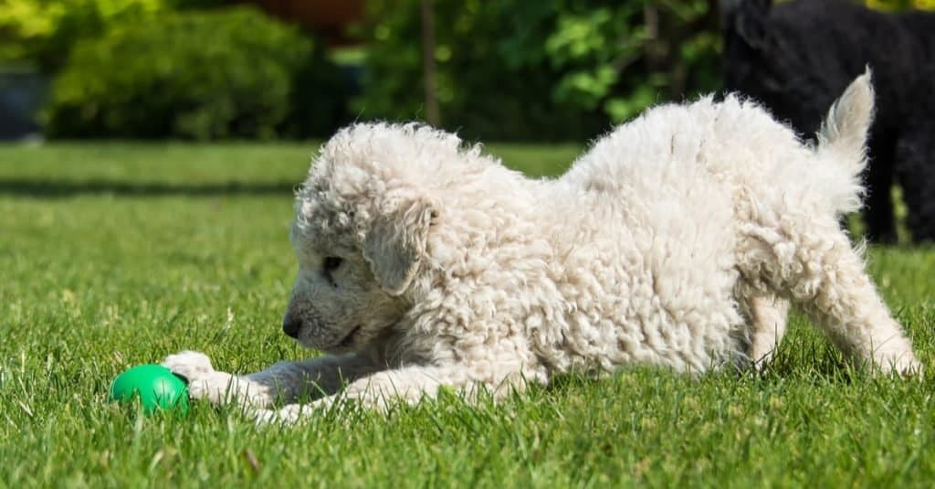 Very young Hungarian Kuvasz puppy playing on the lawn.