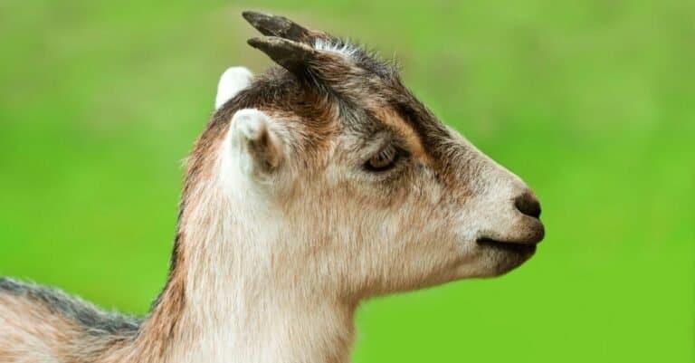 Earless young LaMancha goat, close-up.