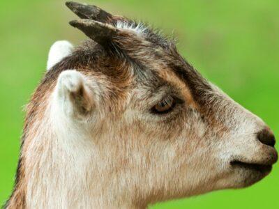 A LaMancha Goat