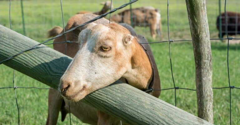 LaMancha Goat sticking its head through a fence.