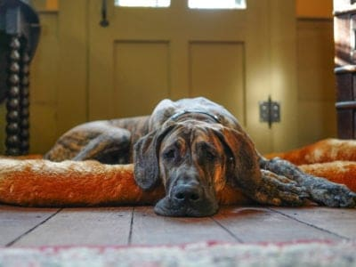 A Best Large Dog Beds: Reviewed for 2021