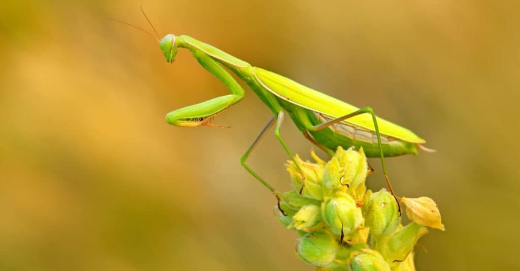 Animals that use mimicry – mantis