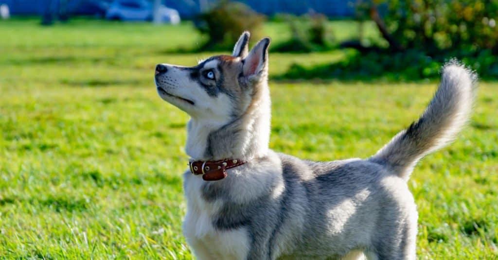 Miniature Husky side profile