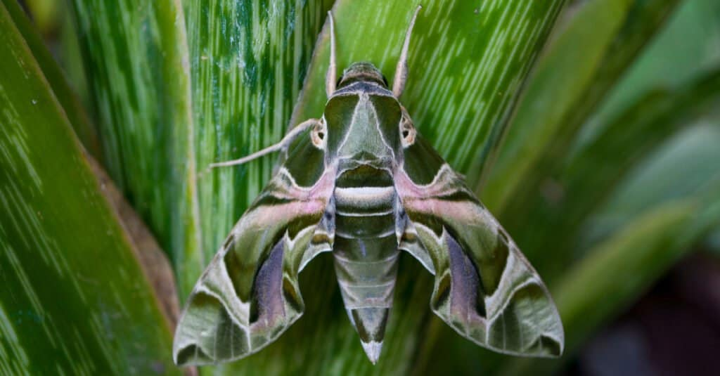 Animals that use mimicry – moth