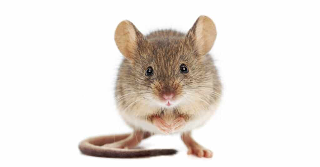 """Have you ever used the phrase """"quiet as a mouse?"""" Welcome to the world of animal analogies!"""