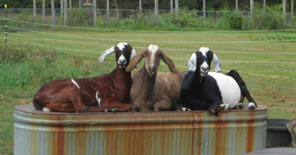 Three Nubian goats lounge on a rusty overturned feeding trough.