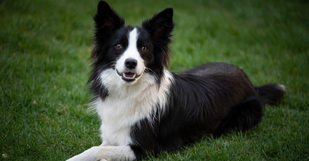 Oldest Dog: Bramble the Border Collie