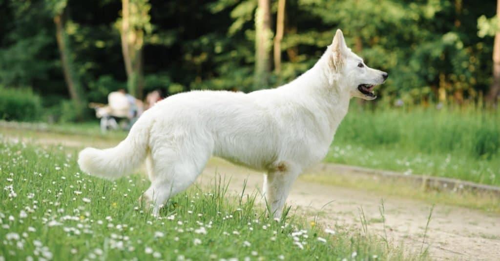 Oldest Dog: Buksi the Mutt