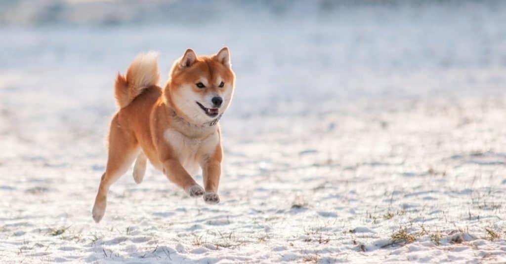 Oldest Dog: Pusuke the Shiba Inu Mix