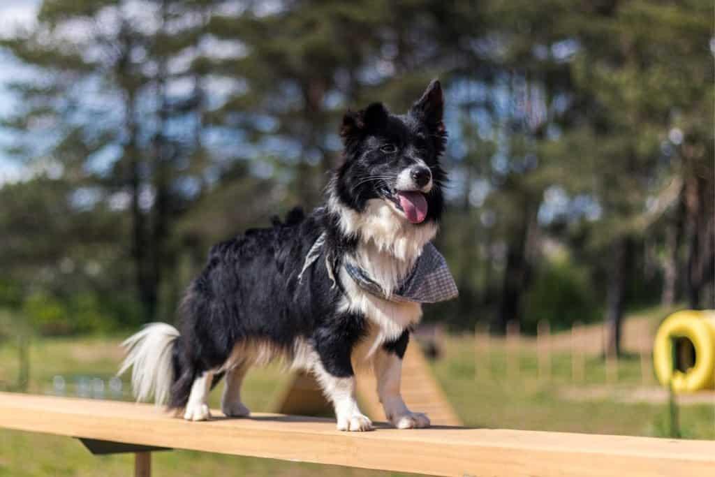 Oldest Dog: Taffy the Welsh Collie