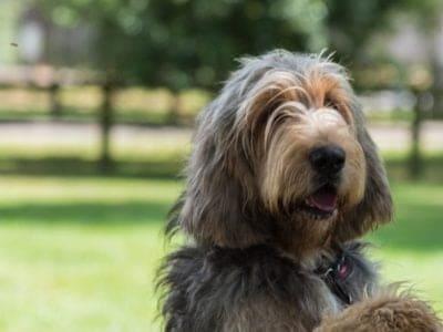 A Otterhound