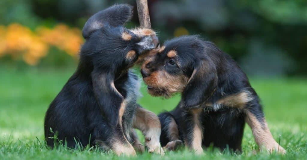 Two playing Otterhound puppies.
