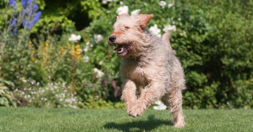 Otterhound running and playing in the garden.