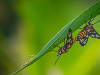 A Tiger Moth