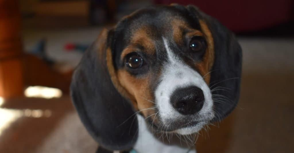Adorable pocket beagle sitting with his head tilted.