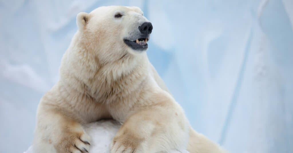 Strongest animal bite – polar bear