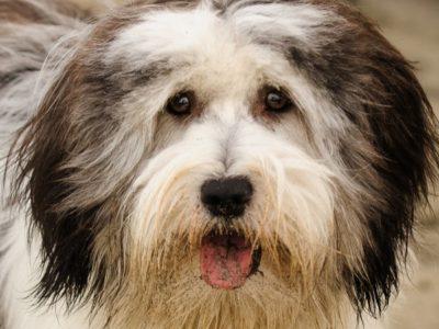 A Polish Lowland Sheepdog
