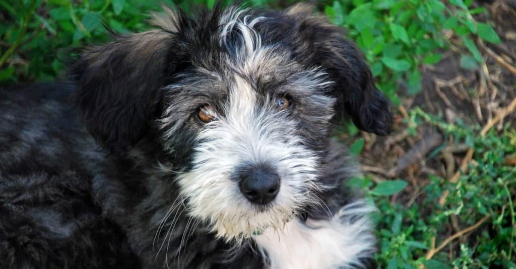 A cute black and white Polish Lowland Sheepdog puppy sitting on the grass.