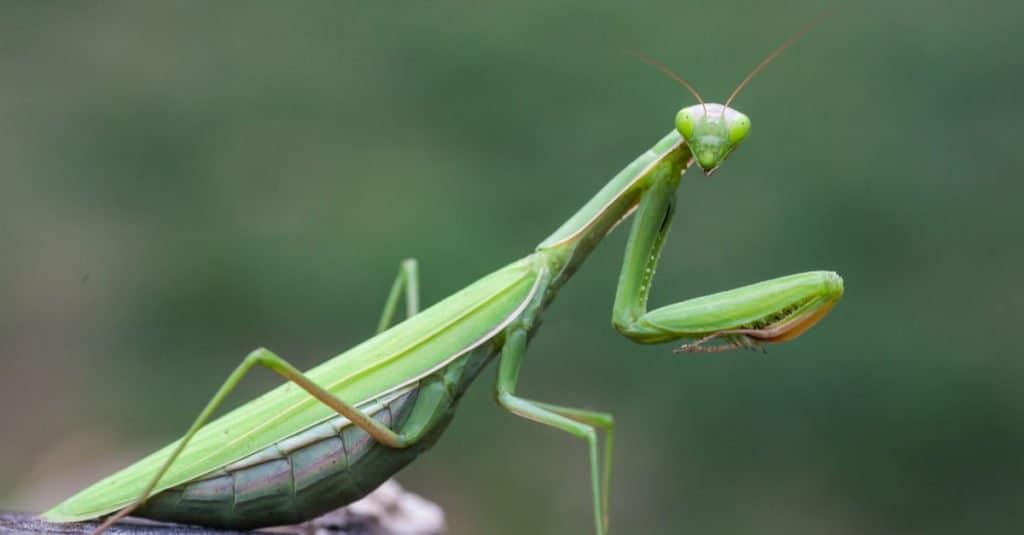 Apex predator: praying mantis