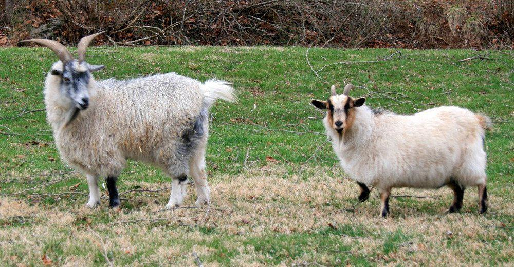 Male and female Pygora Goats standing in the pasture.