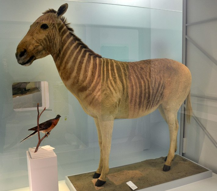 Taxidermied Quagga in the Naturhistorisches Museum of Basel.