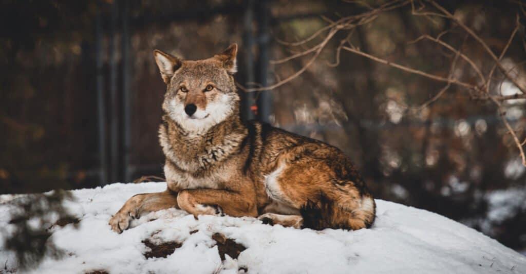 Rarest animal – Red wolf