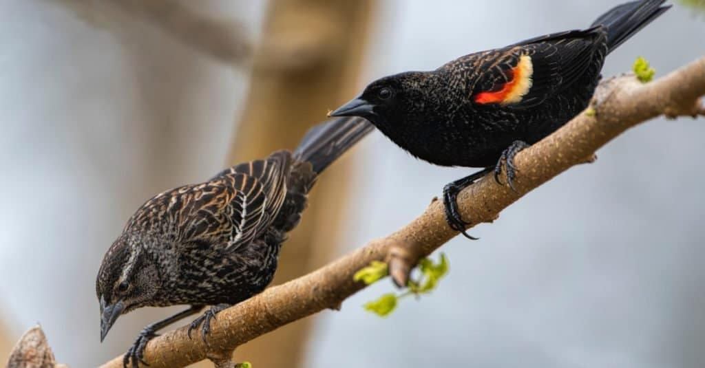 Red Wing Blackbird Pair on a mulberry branch in Louisiana.