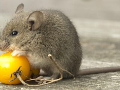 A Rodents