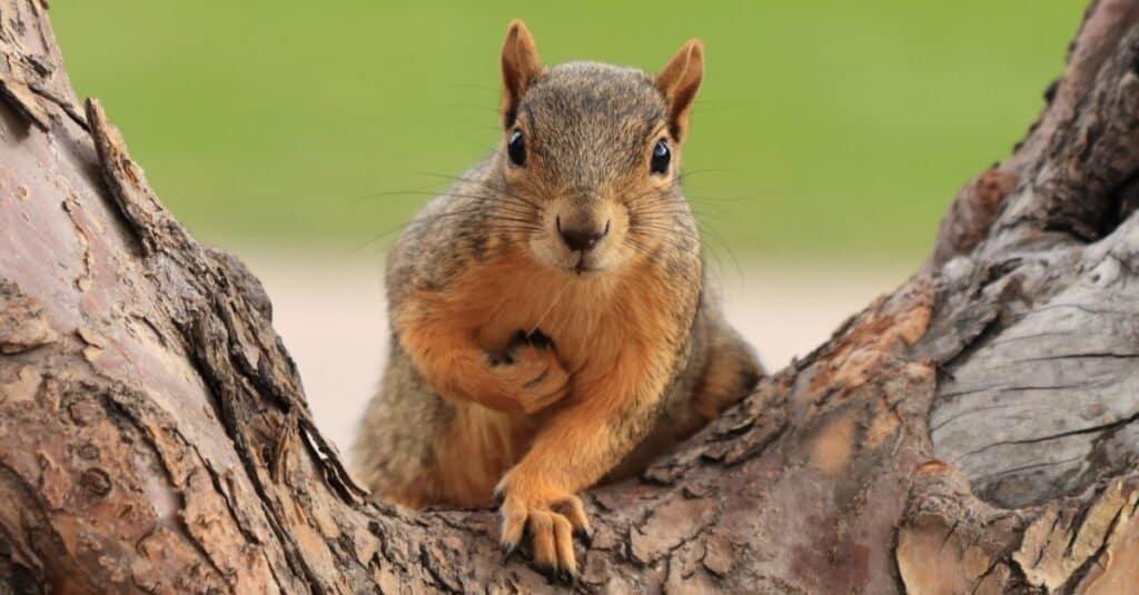 A species of rodent, a fox squirrel (Sciurus niger) sitting on branch in Denver, Colorado.